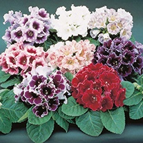 Gloxinia Empress Mixed F1 Flower Seeds