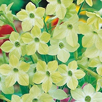 Nicotiana Lime Green Flower Seeds