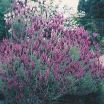 Lavandula stoechas-French Lavender Seeds