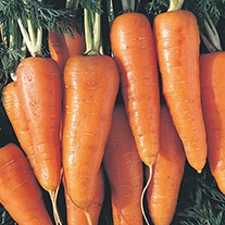 Carrot Early Scarlet Horn Seeds