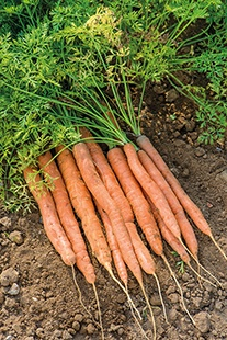 Carrot Amsterdam Forcing 3 (Sprint) AGM Seeds