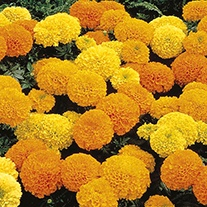 Marigold (African) Inca II F1 Series - Yellow Flower Seeds