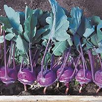 Organic Kohl Rabi Azur-Star Seeds