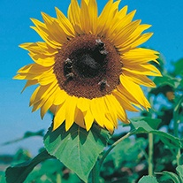 Sunflower (Tall) Giant Russian Flower Seeds