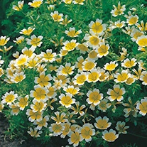 Poached Egg Plant Limnanthes douglasii Flower Seeds