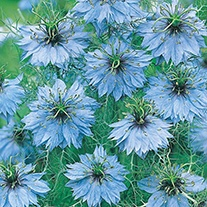 Love in a Mist Miss Jekyll AGM Flower Seeds