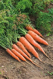 Carrot James Scarlet Intermediate Seeds