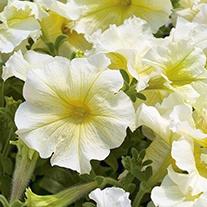 Petunia (Grandiflora) Prism Sunshine F1 Flower Seeds