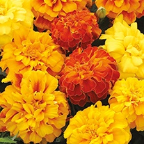Marigold (Triploid) Zenith Tip Top Mixed F1