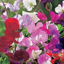 Sweet Pea (Tall) Spencer Mixture Flower Seeds