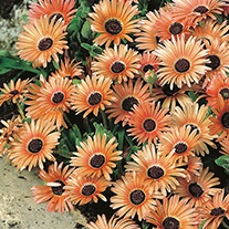Mesembryanthemum Apricot Shimmer Flower Seeds