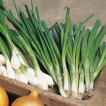 Onion (Spring) White Lisbon AGM Organic Seeds