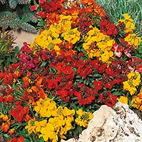 Wallflower Tom Thumb Flower Seeds