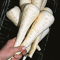 Parsnip Gladiator F1 AGM Seeds