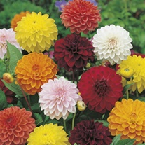 Dahlia Showtime Mixed Flower Seeds