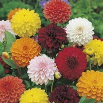 Dahlia Showtime Mixed Flower Seeds