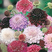 Scabious Tall Double Mixed Flower Seeds