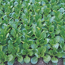Salad Leaves Corn Salad Vit Organic Seeds