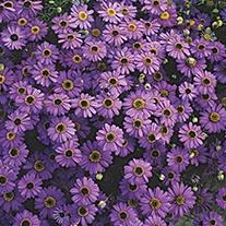 Swan River Daisy Purple Splendor Flower Seeds