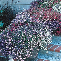Lobelia (Trailing) Fountains Mixed Flower Seeds