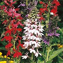 Lobelia (Perennial) Compliment Mix F1 Flower Seeds