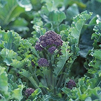 Broccoli Claret F1 AGM Seeds