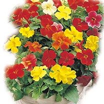 Mimulus Twinkle Mixed F2 Flower Seeds