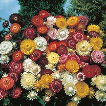 Helichrysum Large Flowered Double Mixed Flower Seeds
