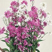 Sweet Rocket Hesperis Mixed Flower Seeds