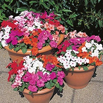 Busy Lizzie Accent Formula Mixed F1 Flower Seeds