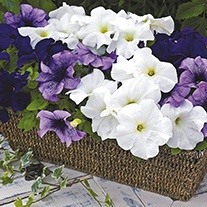 Petunia (Grandiflora) Ultra Aegean Sea F1 Flower Seeds