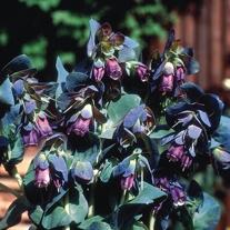 Cerinthe major purpurascens Flower Seeds