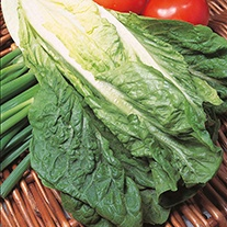 Lettuce Lobjoits Green AGM Seeds