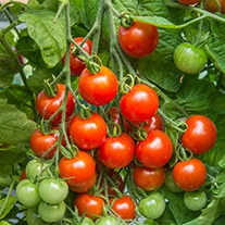 Tomato Gardener's Delight (Medium) Veg Plants