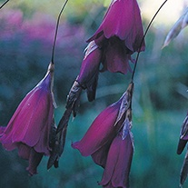 Dierama Blackbird - Angels Fishing Rods Flower Seeds