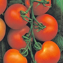 Tomato Alicante AGM Seeds