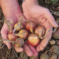 Shallot Ambition F1 Onion Plants