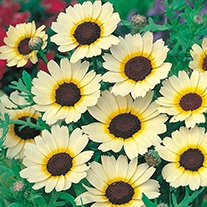 Chrysanthemum Eastern Star Flower Seeds