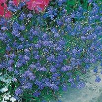 Lobelia (Trailing) Sapphire Trailing Flower Seeds