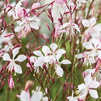 Gaura The Bride AGM Flower Seeds