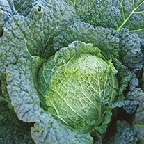 Cabbage (Savoy) Savoy Serve F1 AGM Seeds