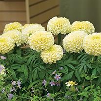 Marigold Vanilla F1 Plug Plants