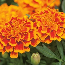 Marigold (French) Bonanza Flame AGM Flower Seeds