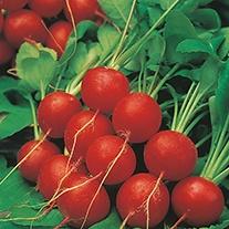 Radish Scarlet Globe AGM Seeds