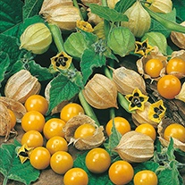 Cape Gooseberry Golden Berry Seeds