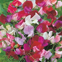 Sweet Pea (Tall) Eckfords Mixture Flower Seeds