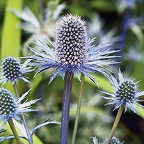 Eryngium Alpinum Sea Holly Flower Seeds