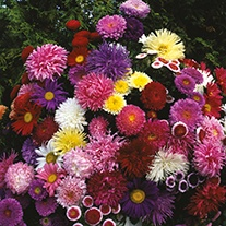 Aster (Tall) D.T. Brown Cut Flower Mixed Flower Seeds