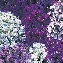 Lobelia (Edging Variety) Riviera Mixed Flower Seeds