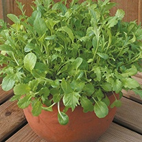 Salad Leaves Oriental Salad Leaf Mixed Seeds